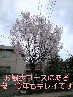 さくら(ルーと合唱)